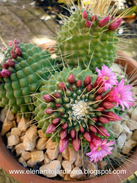 Mammillaria spinosissima un pico succulents cactus for Cactaceas y suculentas