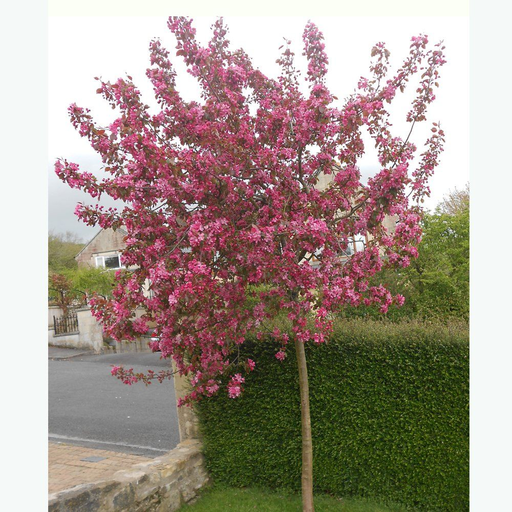 13 Of The Most Colorful Crabapple Trees For Your Yard Crabapple Tree White Flowering Trees Crab Apple