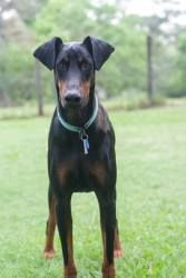 Adopt Shiner On Doberman Pinscher Doberman Pinscher Dog Red