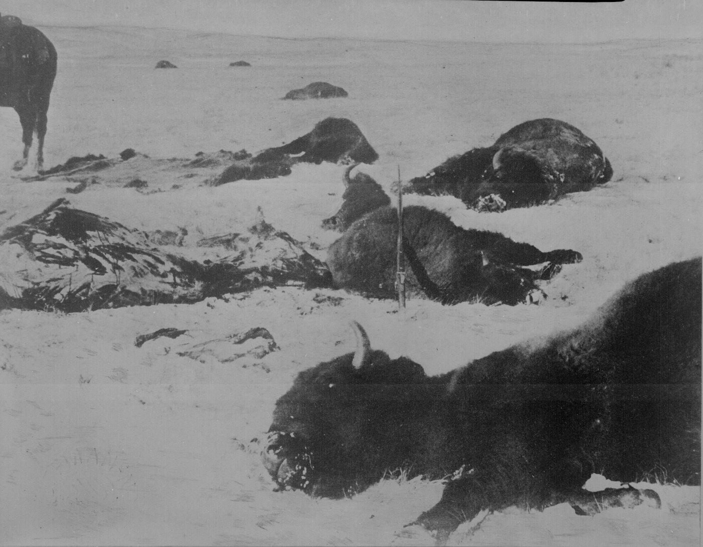 90 Trail Of The Hide Hunters Buffalo Lying Dead In