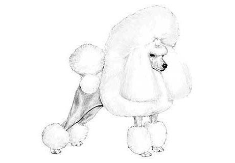 Leerose Puppies Jennifer Perkins Has Poodle Puppies For Sale In
