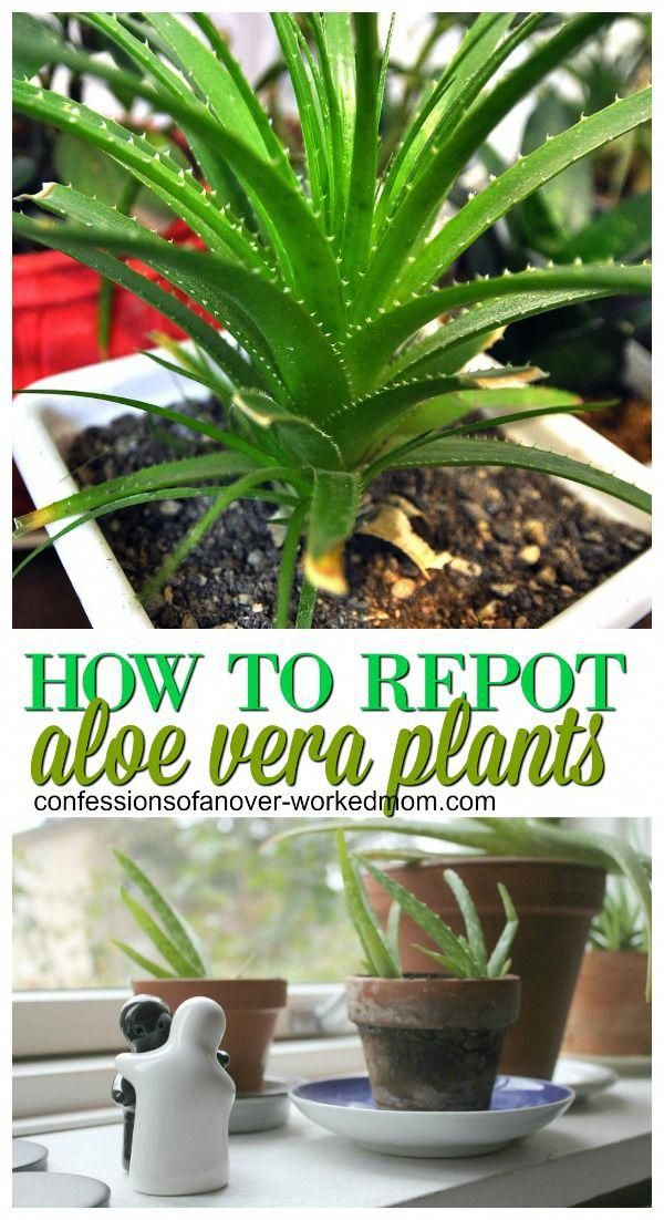 Repotting Our Aloe Plant and Starting New Aloe Vera Plants ...