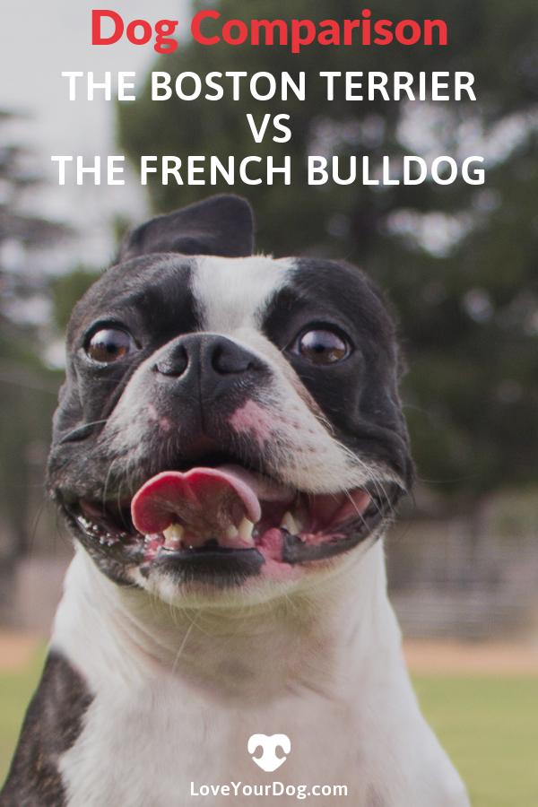 Boston Terrier vs. French Bulldog: Dog Breed Comparison ...