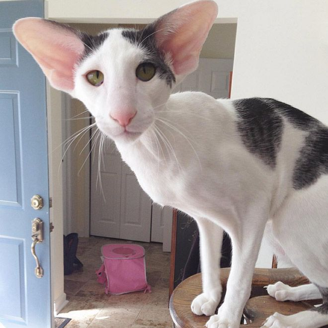 Pin by R2 on ️ Cats Sphynx, Elf, Oriental ShortHaired
