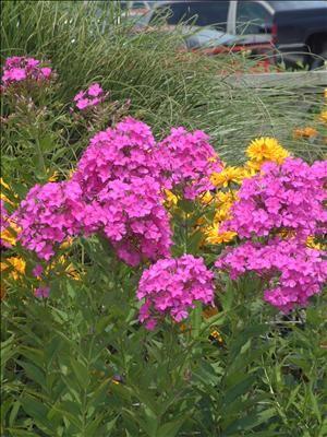 Tall Garden Phlox Robert Poore Is A Powdery Mildew Resistant