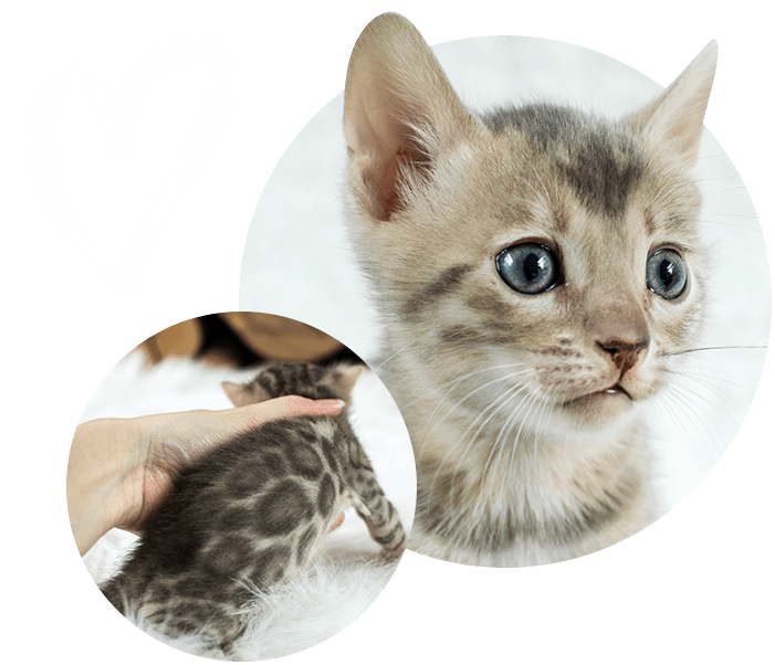 Blue Bengal Cats & Kittens for Sale 🐱 Cats, kittens