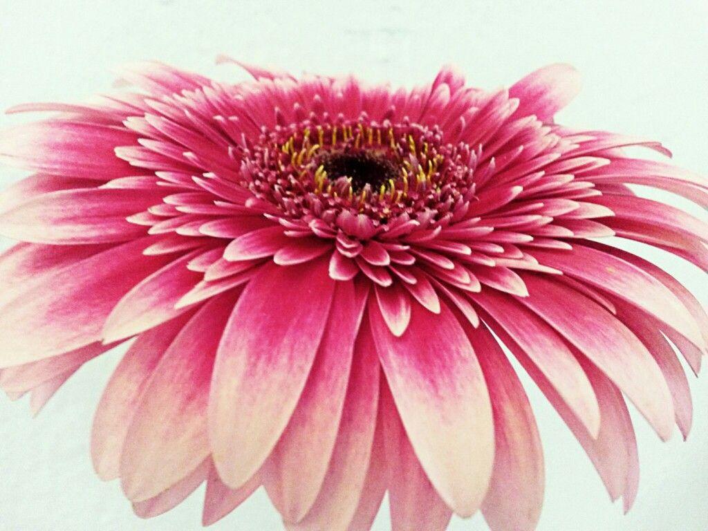 Gerbera flower, altrosa | Facebook Covers | Pinterest | Gerbera und ...