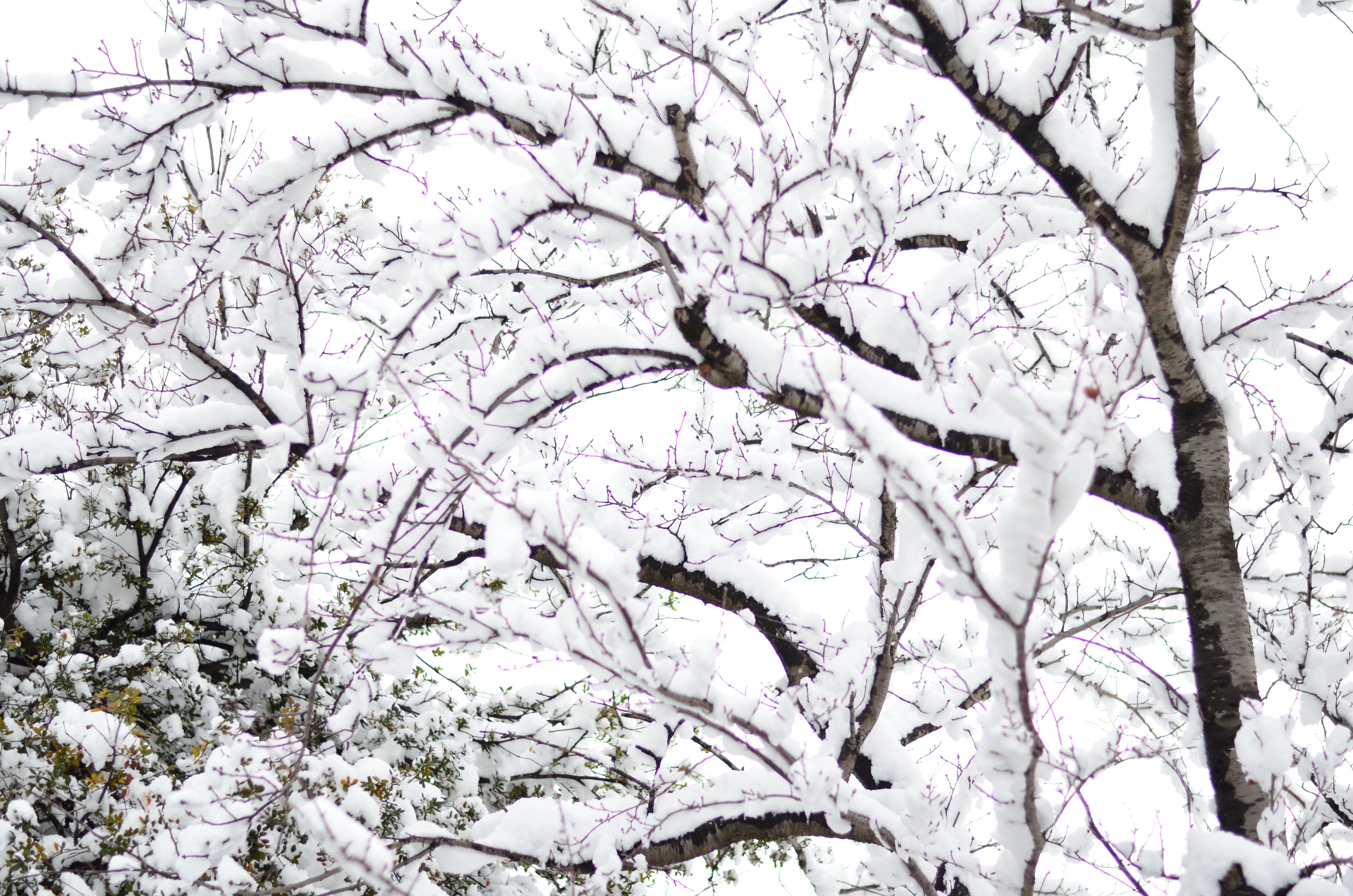 Cherry Blossom Tree In Winter Blossom Trees Cherry Blossom Tree Winter Trees
