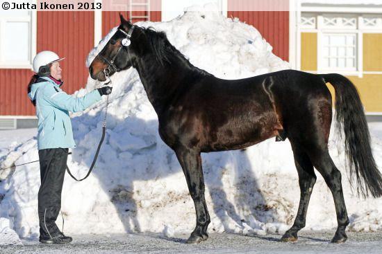 Standardbred - stallion Cuba Libre