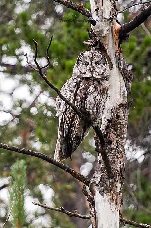 730fb61cf9f Great Gray Owl, Grand Teton National Park Proud Mom, Gray Owl, Grand Teton