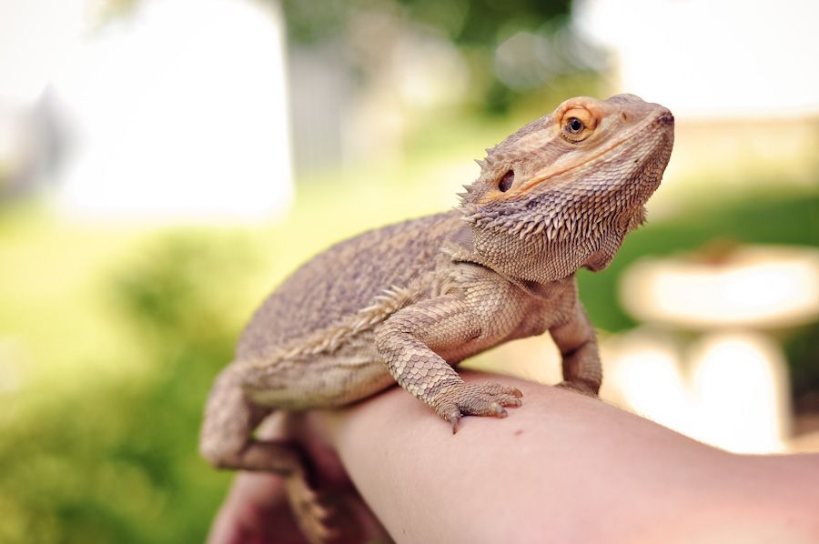 Spotted, Turtle, Photography, Pet, Lizard, Bearded, Dragon, Reptile ...