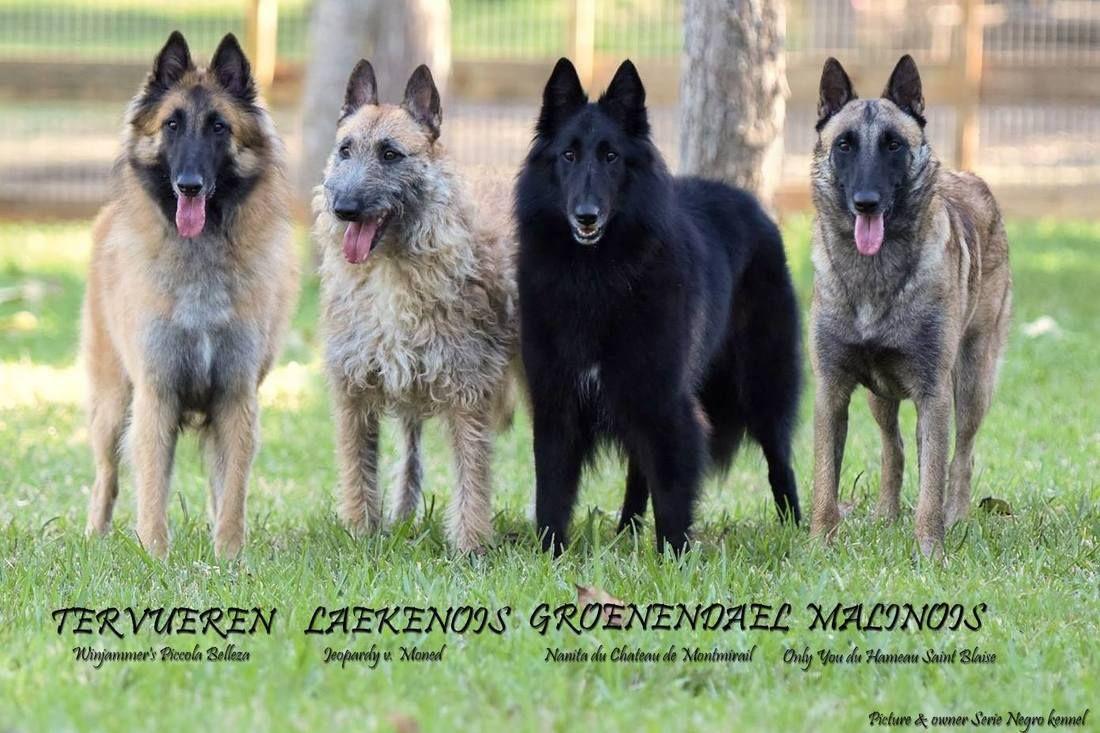 Belgian Shepherds