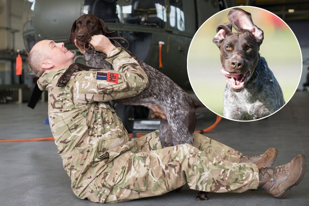 Amazing Hertz the sniffer dog, a German shorthaired pointer, was so good at saving British lives the Americans and Danes called him in to assist them too