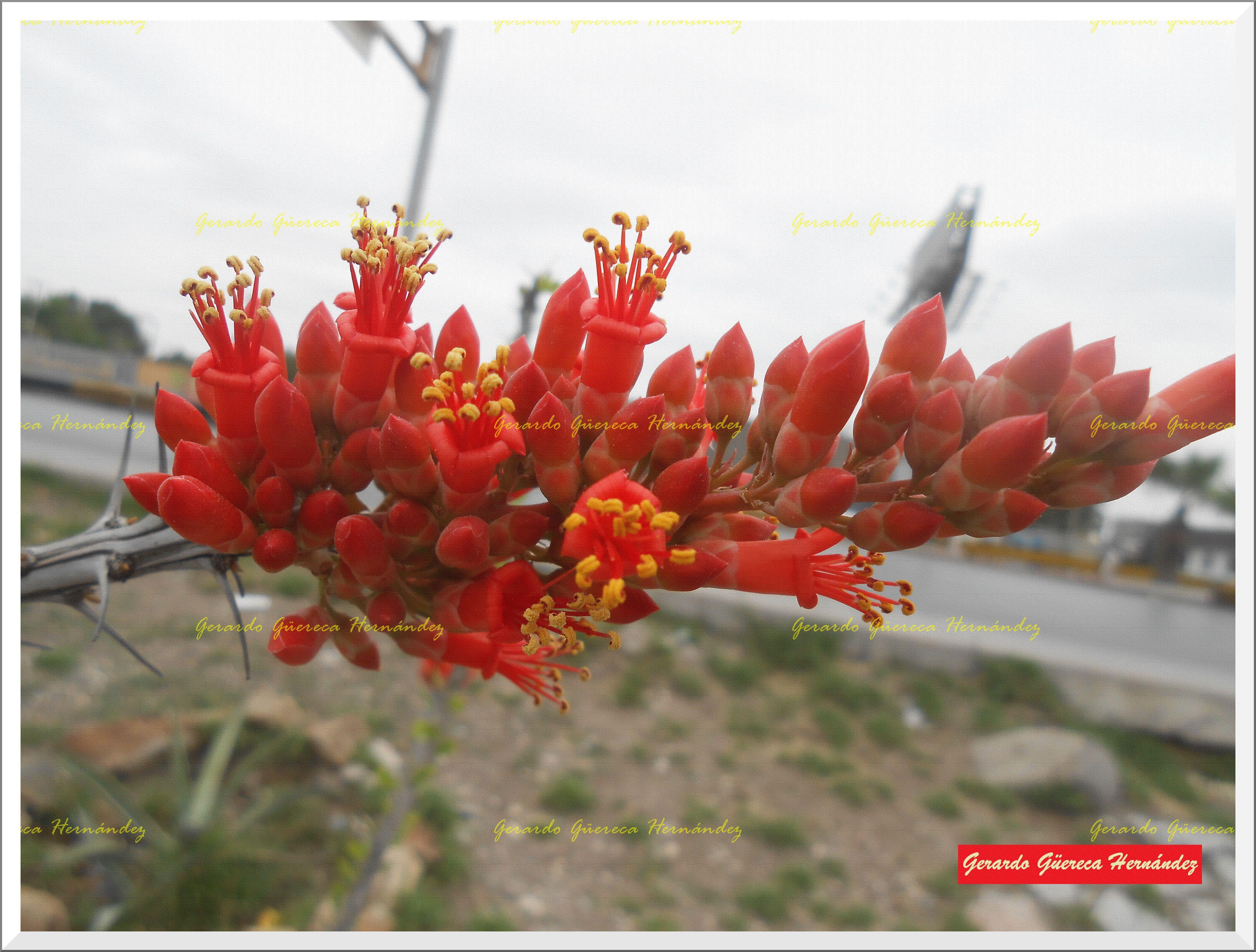 Flowers of Ocotillo (Fouquieria splendens). (Flores de Ocotillo (Fouquieria splendens) .