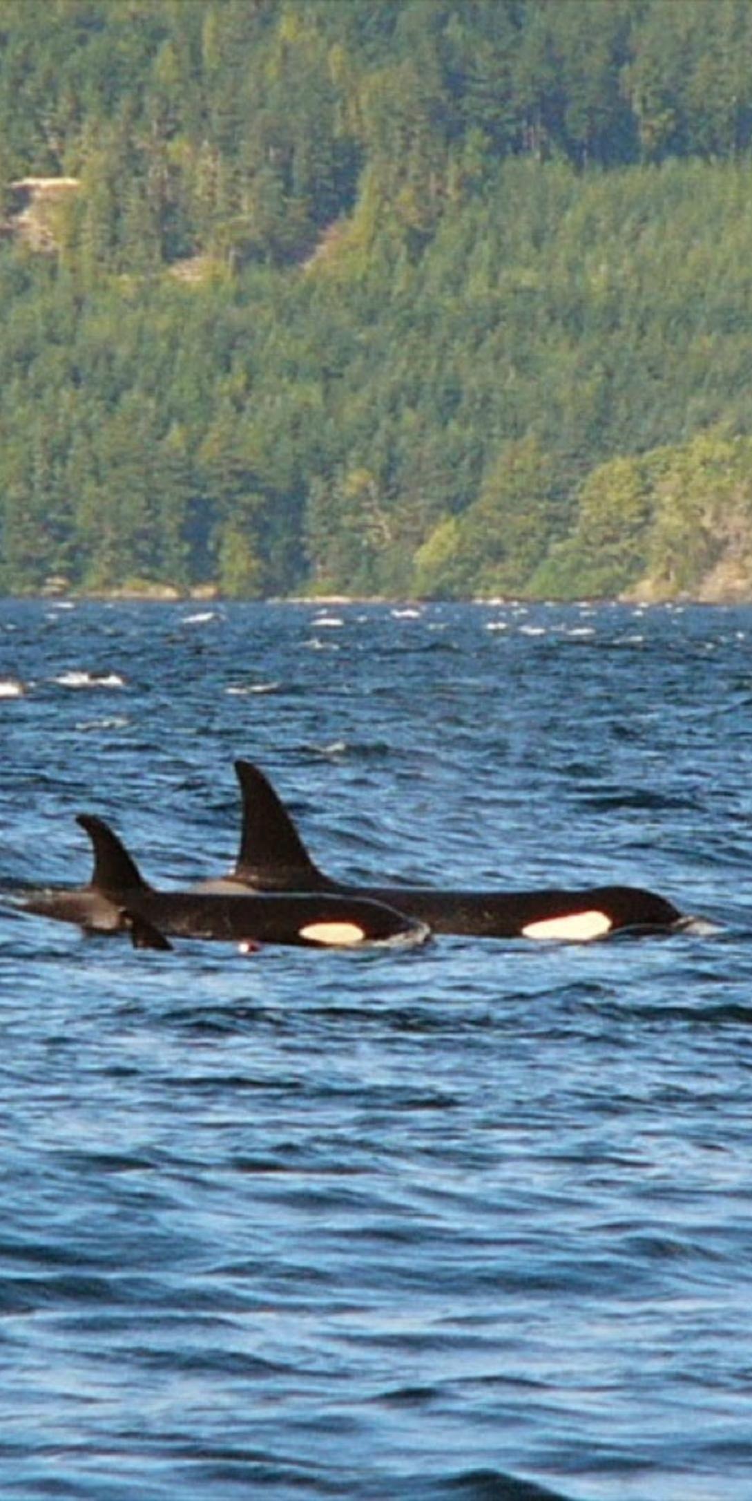 Kayaking With Orcas 2021 Tours In Johnstone Strait Vancouver Island Orca Kayaking Kayak Trip