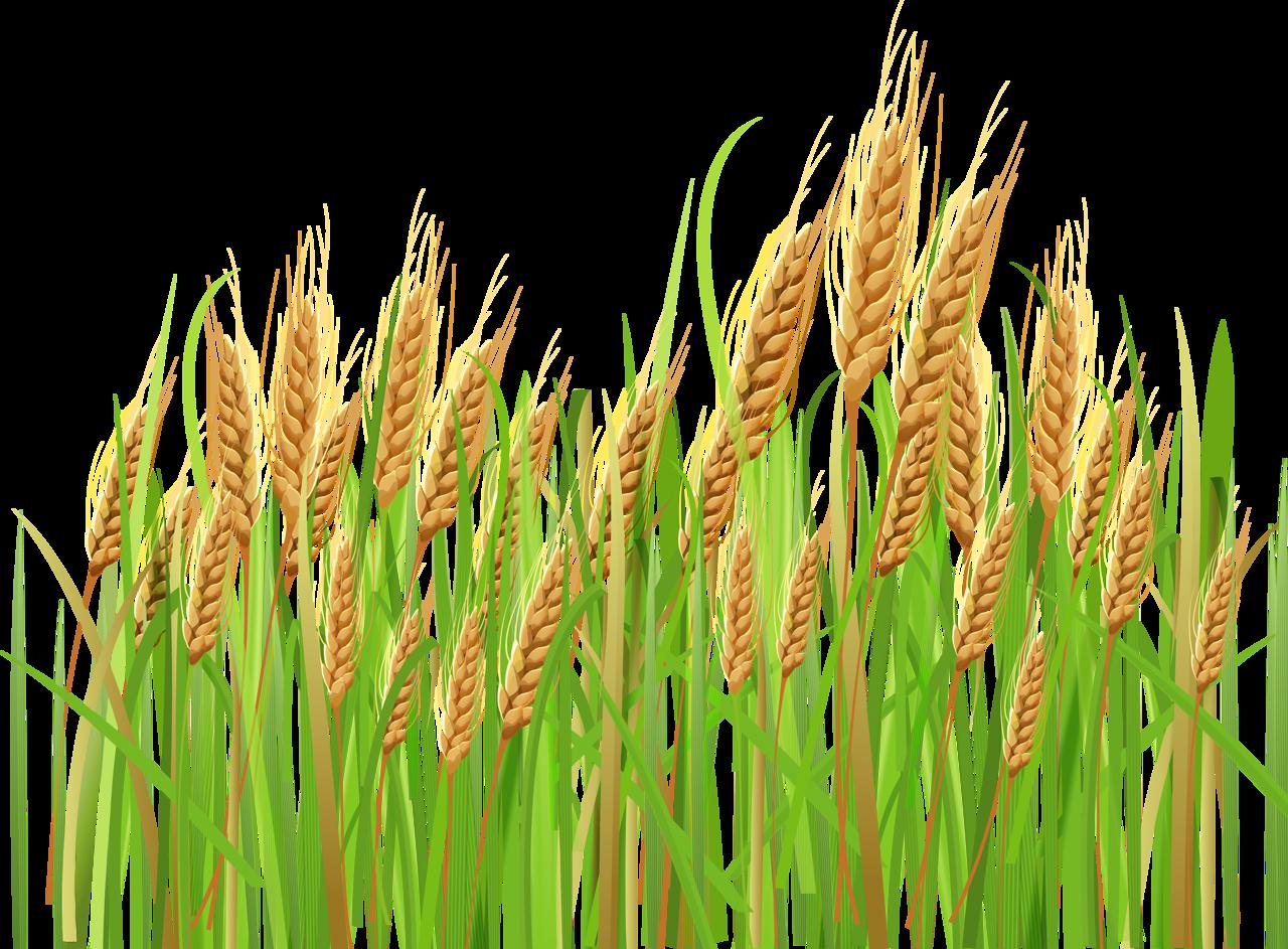 Колосок пшеницы картинка для детей
