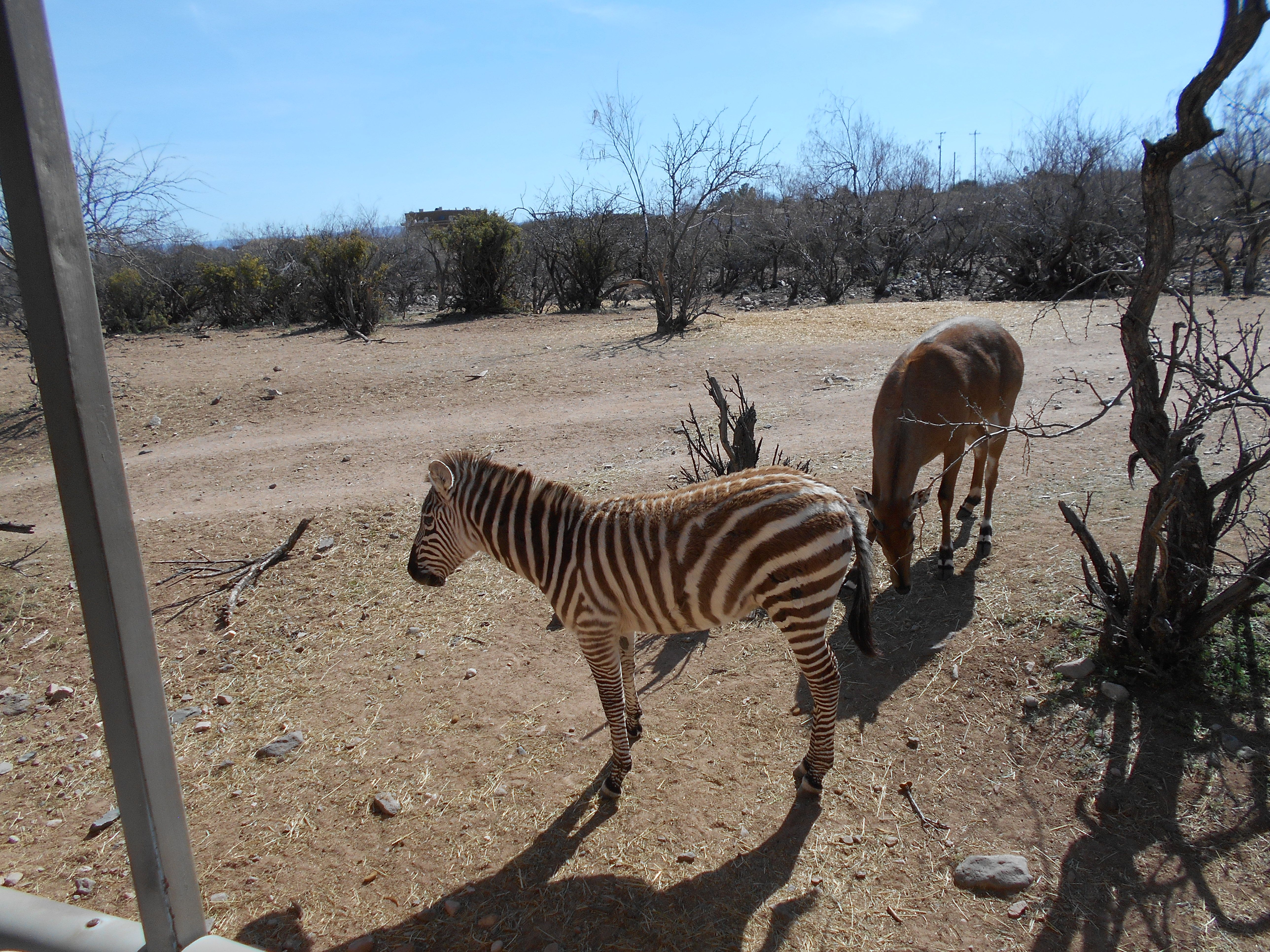 Young zebra | Zebra, Animals