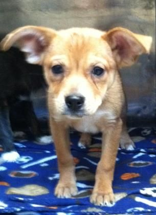 Animal Id 35329675 Species Dog Breed Shepherd Mix Age 2 Months 1 Day Gender Male Size Small Color Brown Site City Of El Dog Breeds List Animals Cute Chihuahua