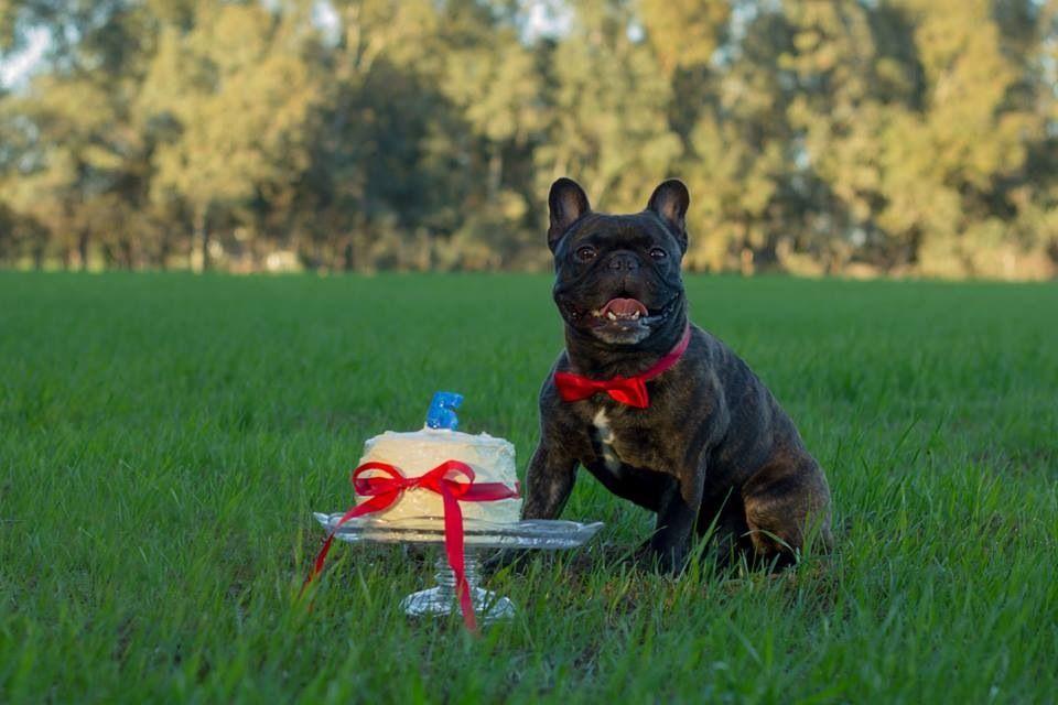 French Bulldog Rhino's Birthday!