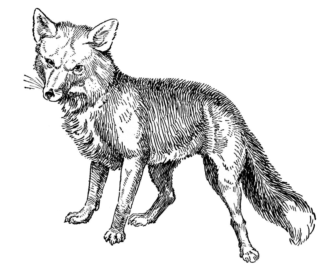 The Graphics Fairy Llc Black And White Clip Art Fox Drawing Animal Drawings Fox Art