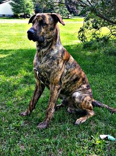 great dane mastiff mix full grown google search pups pinterest