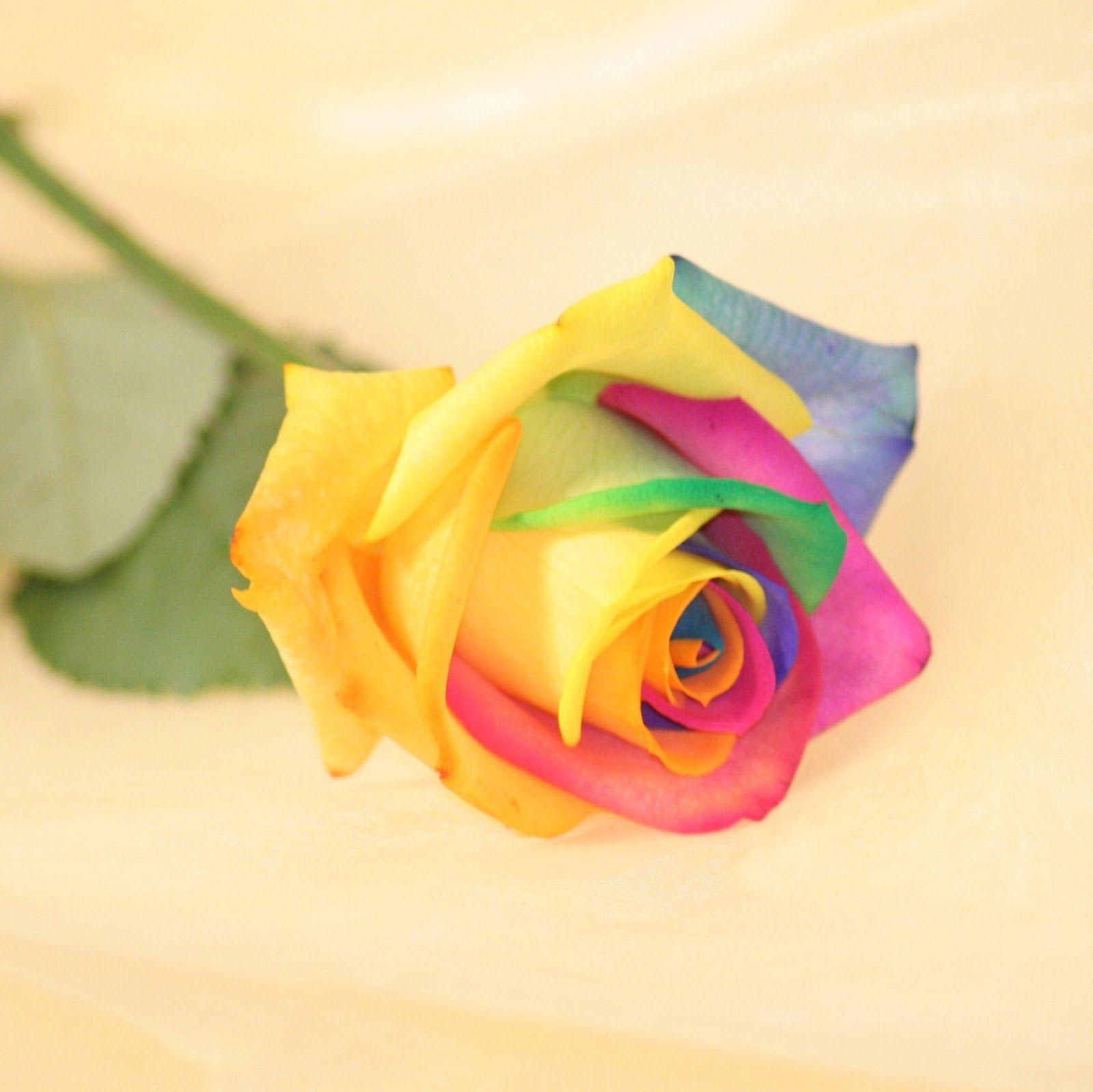 Valentine Single Roses Wallpaper For FB DP Happy