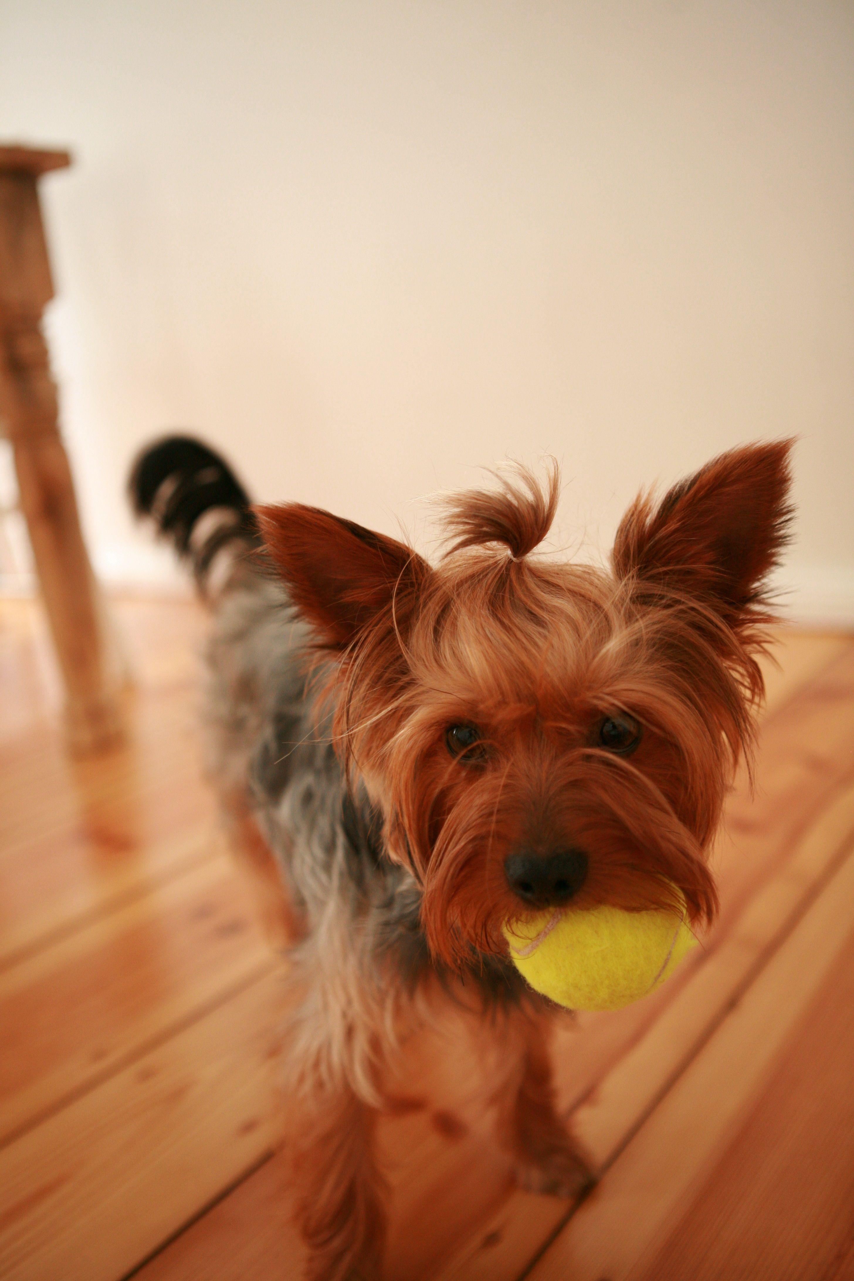 Pin Von Pawshake Deutschland Auf Pawshake Deutschland Hunde Yorkshire Terrier Yorkshire Terrier