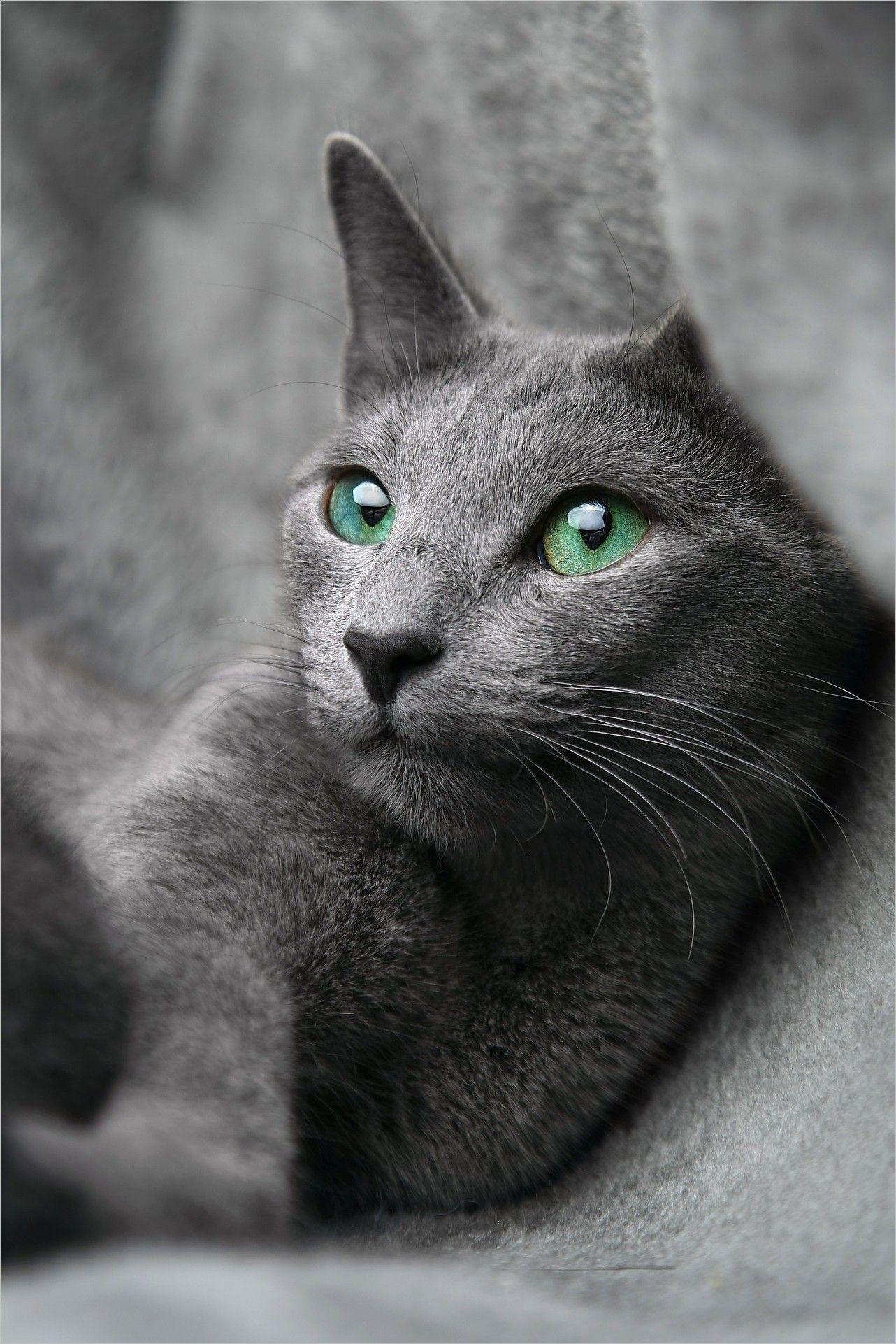 Cat Wallpaper Img Pictures Cat Eyes Cat Russian Blue Look Eyes Gray Pet Animal Gato Azul Ruso El Gato Azul Azul Ruso