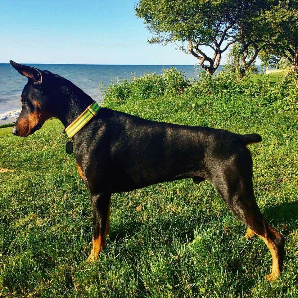 Pintyeryest Awildjenny Doberman Pincher Dog Doberman Doberman