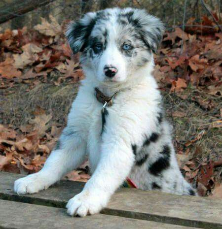 Little Beauty Fluffycatsbreedsblueeyes Collie Puppies Dogs