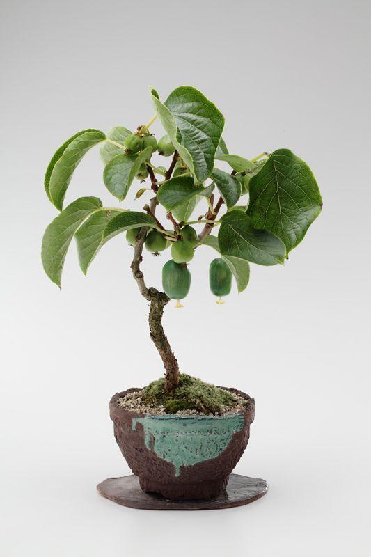 pin by abeer alkhateeb on bonsai art bonsai mini