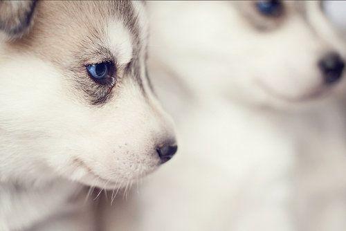felix-tha-cat:    huskys are so cute ok