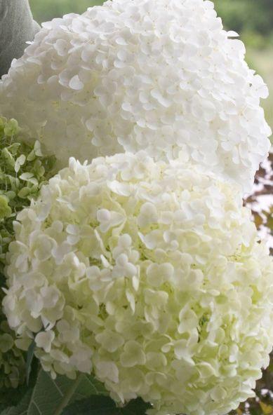 Pallohortensia Annaabelle:valtavat valkoiset kukat elo-lokakuussa