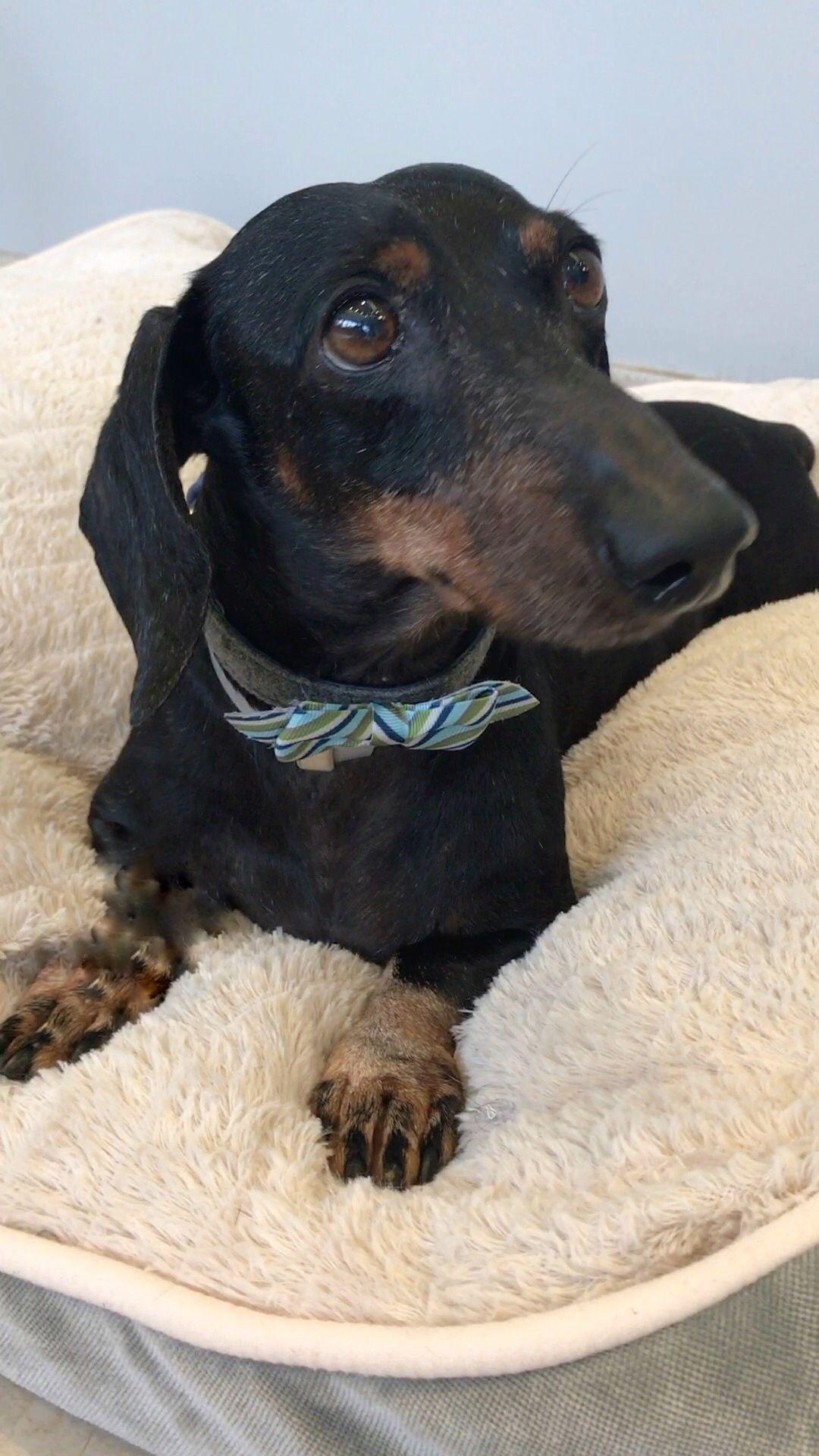 Dachshund dog for Adoption in Weston, FL. ADN676946 on