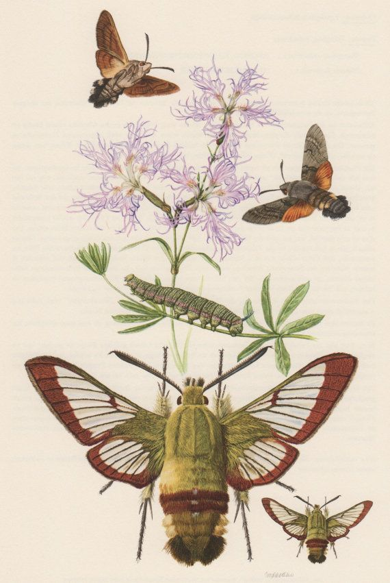 """hummingbird moth paper A hawk moth caterpillar is pictured in a snake mimic defense display  the  caterpillar mimic a """"more generalized"""" eye, according to the paper."""