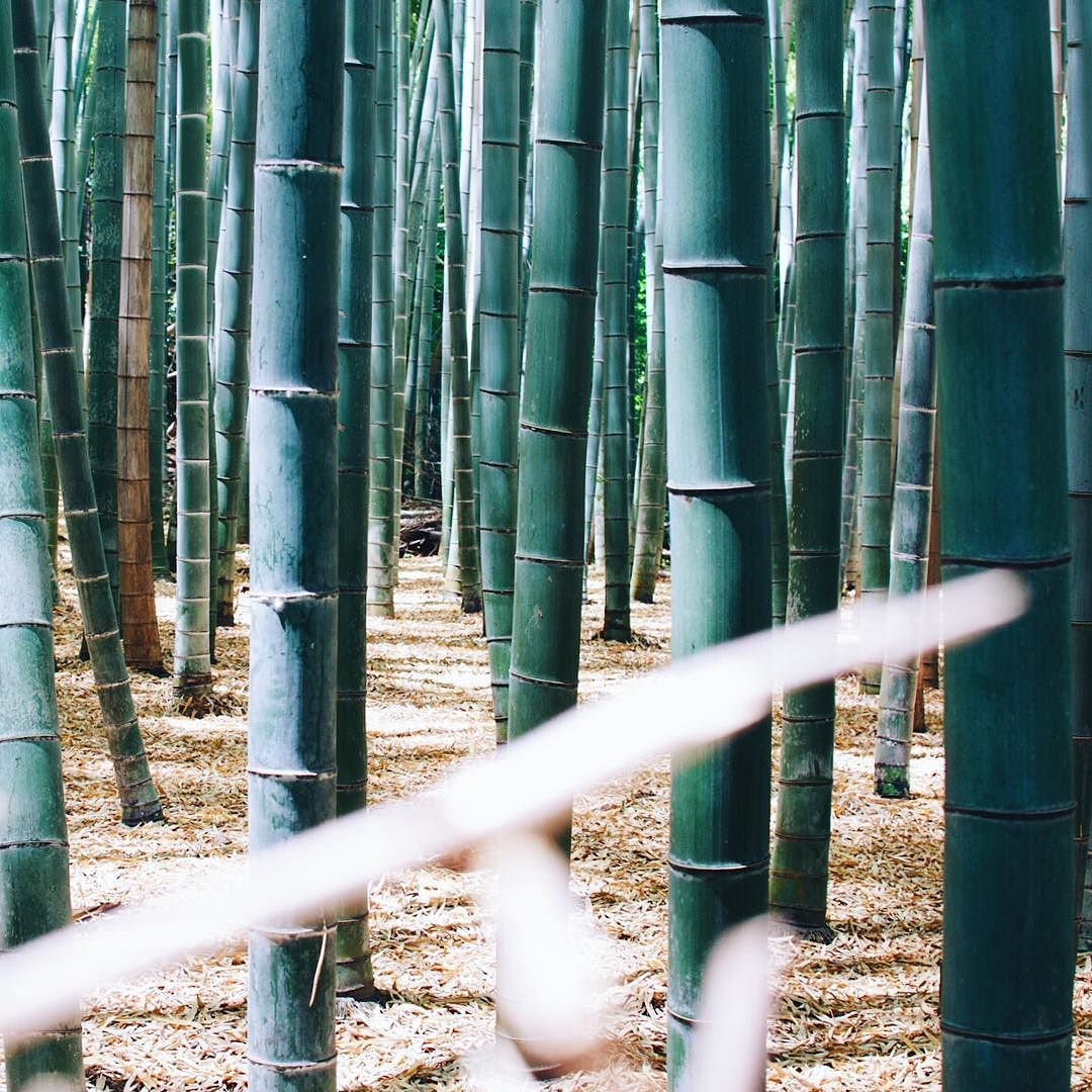 Bamboo Forest Bambooforest Arashiyama Kyoto Veganexplorer