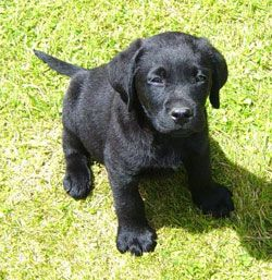 Love This Little Nugget Labrador Retriever Black Labrador Retriever Labrador