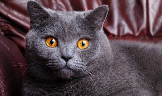 Grey Chartreux Cat With Yellow Orange Eyes Cats Free Stock Photos British Shorthair Cats Cute Cats Grey Cats