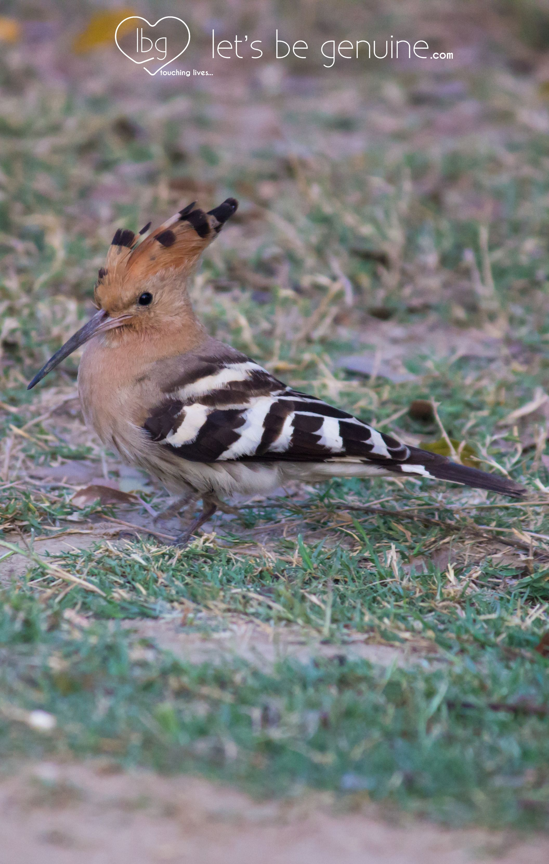 Hoopoe A Village In Muzaffarnagar Western U P India Work Culture Western U Animals