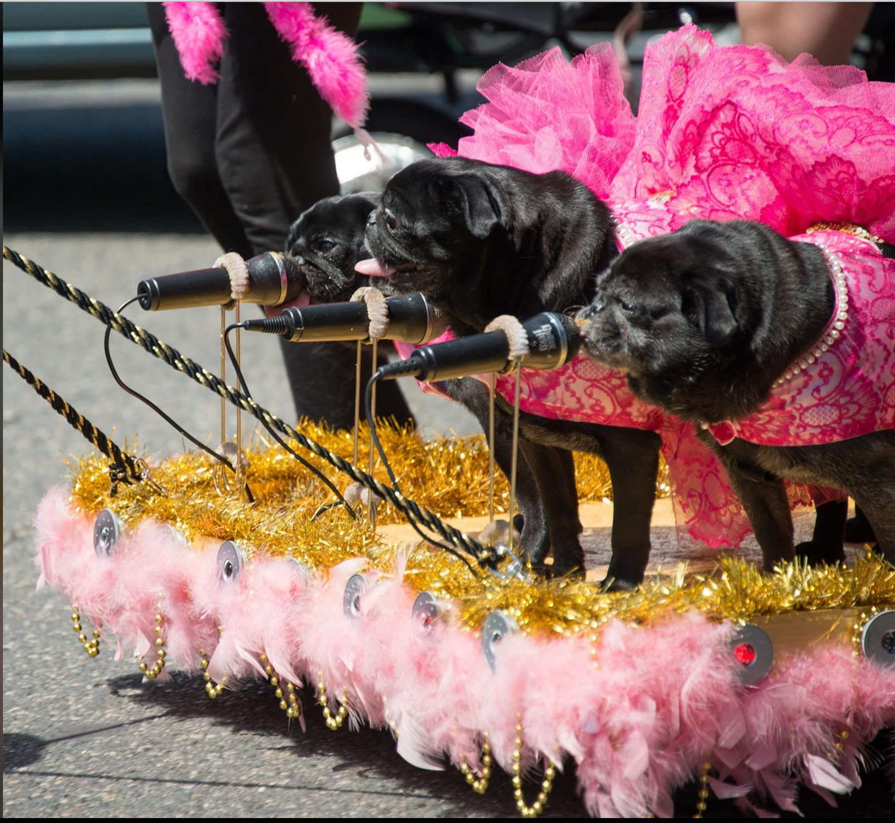 My girls winning first place at the PDX Pug Crawl on Sunday. So proud! http://ift.tt/2rJzKgA