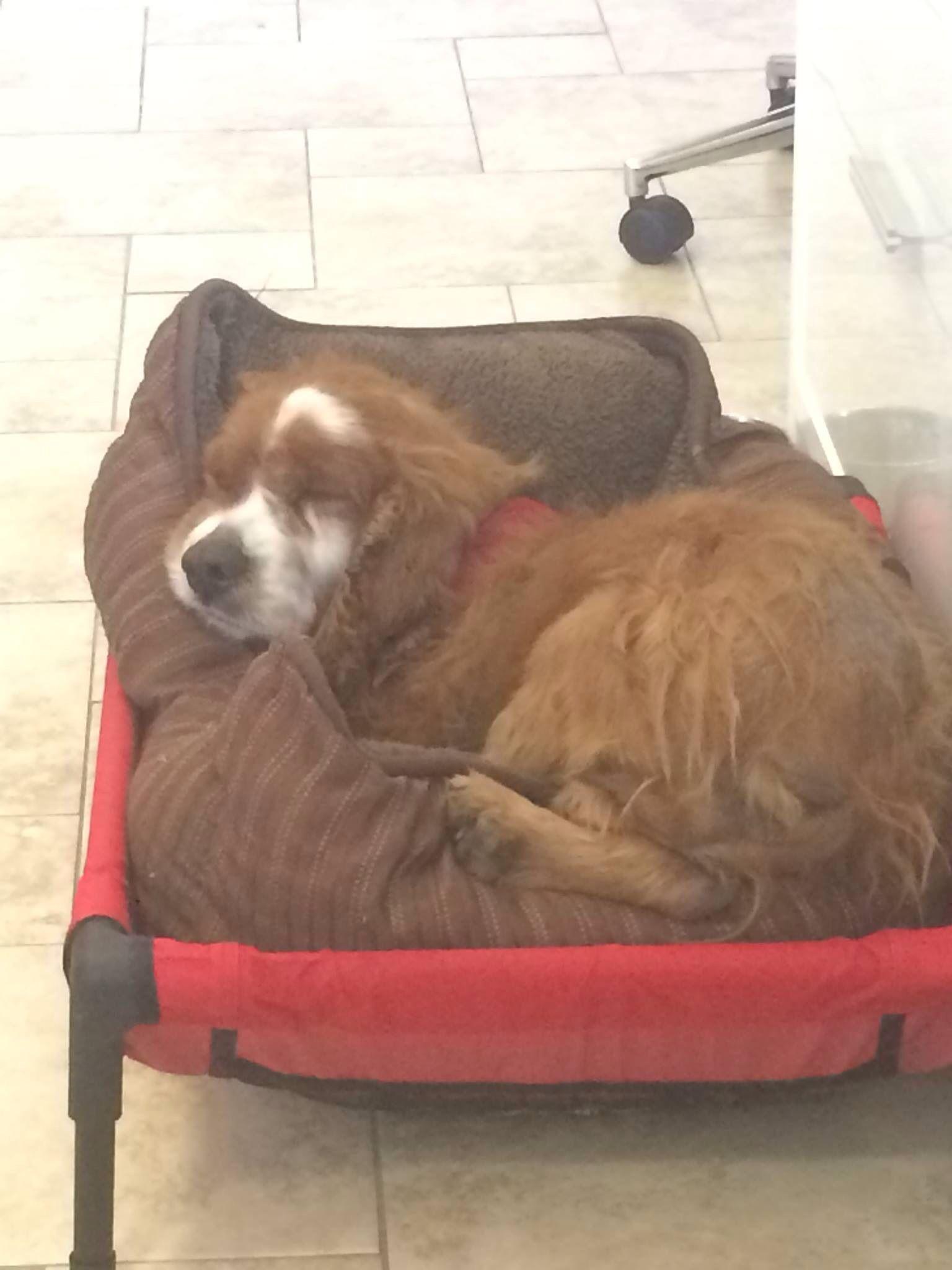 Lostdog 8 1 14 Nelson Seattle Wa Cockerspaniel Senior Male Requires Medication Collar Microchip 206 557 4661 Http Losing A Dog Cocker Spaniel Find Pets