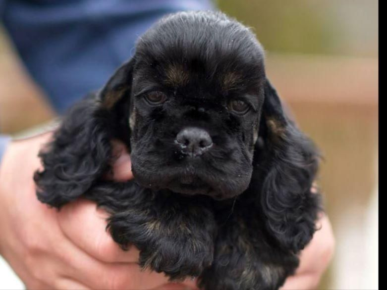 Ania S Cockers Has Puppies For Sale On Akc Puppyfinder Black Cocker Spaniel Puppies Black Cocker Spaniel Spaniel Puppies