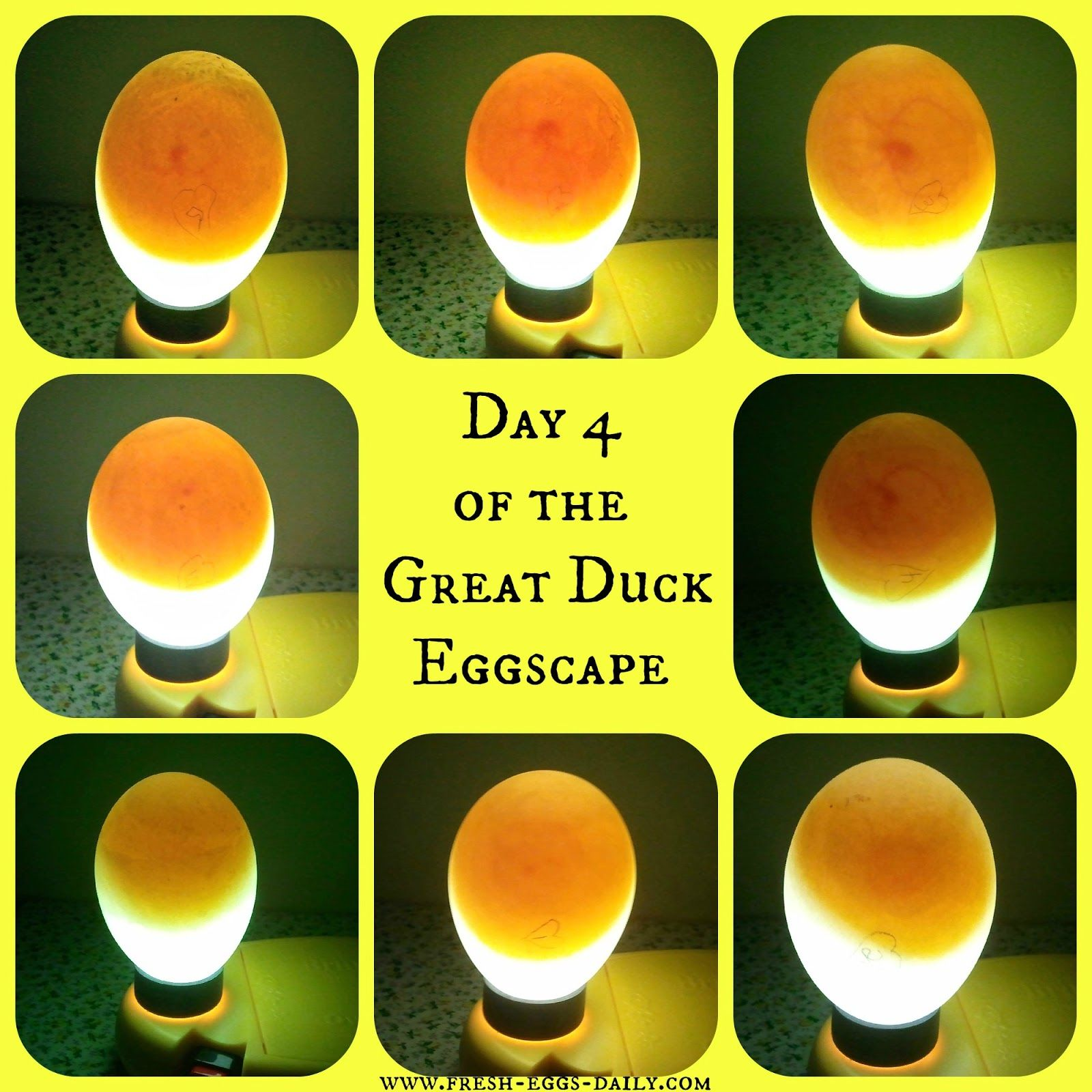Hatching Duck Eggs Can Go More Smoothly Using These Easy Tips Hatching Duck Eggs Duck Eggs Candling Chicken Eggs