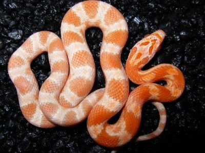 Diffused Mandarin Corn snake