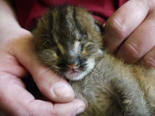 Rare And Elusive Wild Cat Gives Birth With The Help Of Science Cat Birth Wild Cats Cute Little Animals