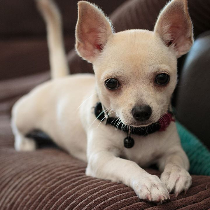 She Looks Like Biscuit Chihuahua Puppies Chihuahua Mix Puppies