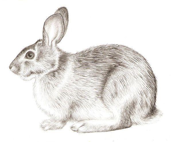 rsultats de recherche dimages pour how to draw rabbits realistic