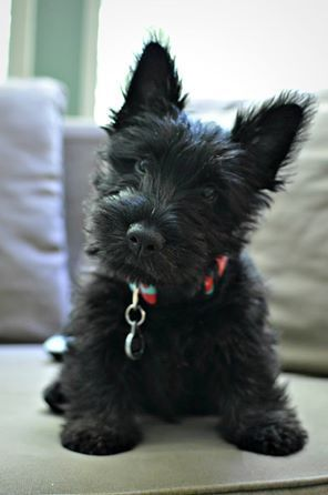 Image result for black scottish terrier puppy
