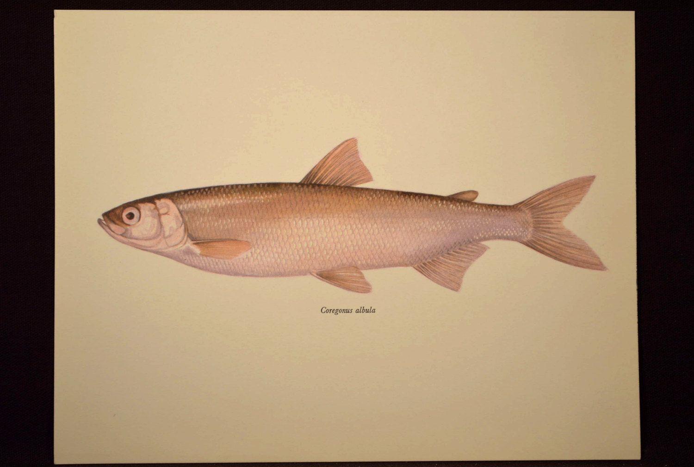 Cabin Wall Art Fish Print Fishing Wall Decor Print White Fish ...