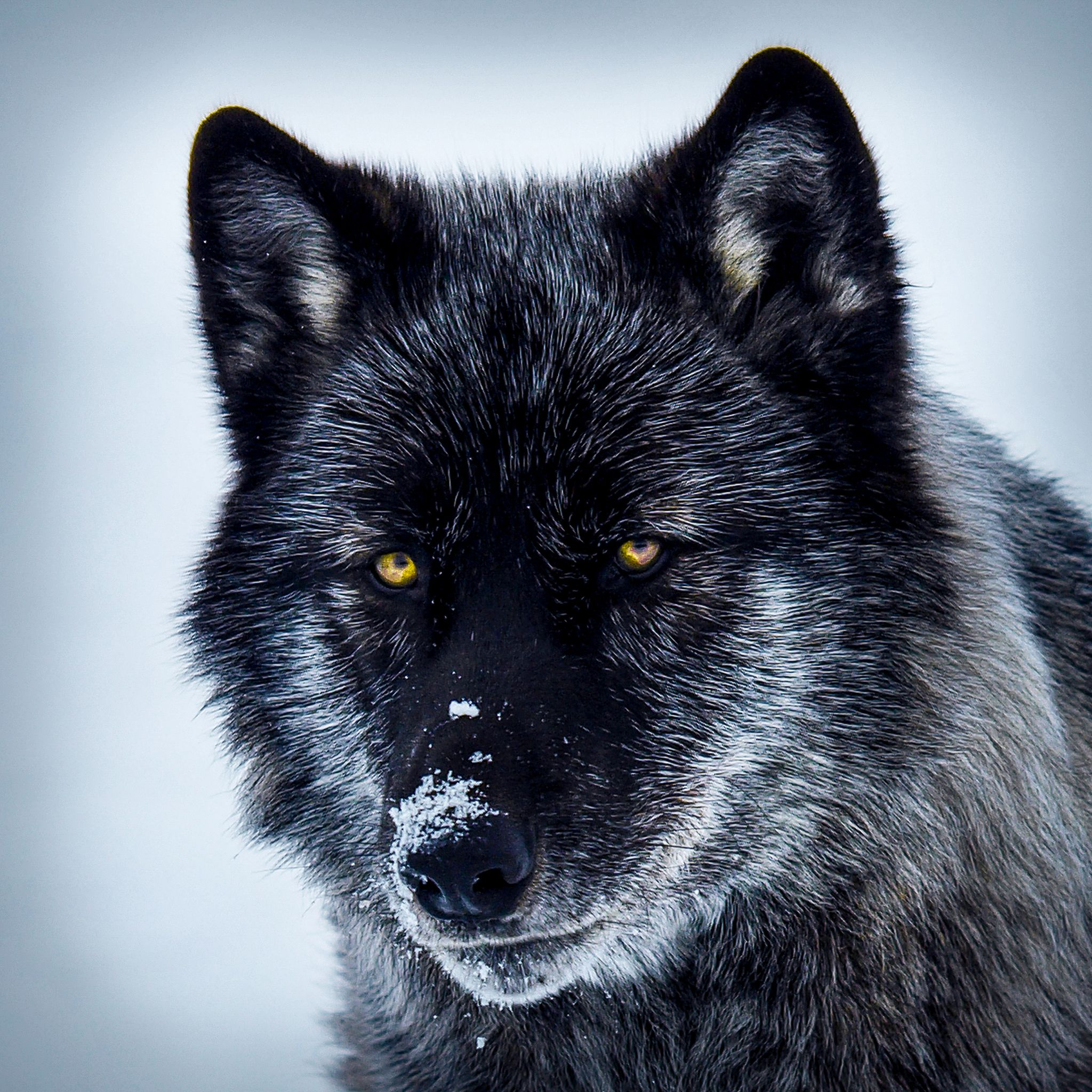 | Portrait of a Wolf |